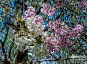 Flowering tree with two different blossoms