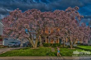 Jogger runs past large magnolia trees in Uptown Westerville