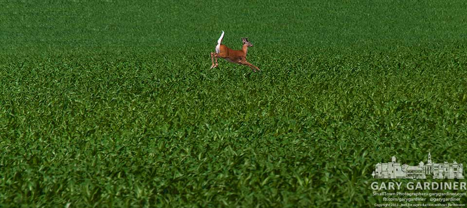 A white-tailed deer bounds across a field of corn along Cooper Road. My Final Photo for June 24, 2013.
