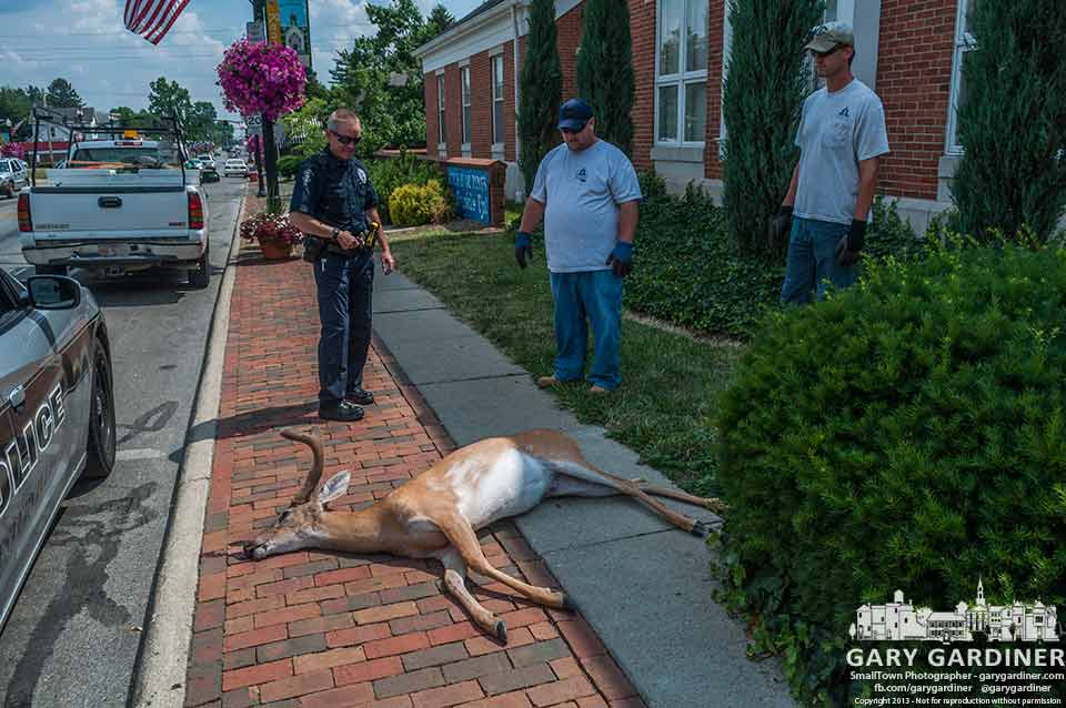 Westerville police officer and two city workers prepare to remove a deer from in front of City Hall.