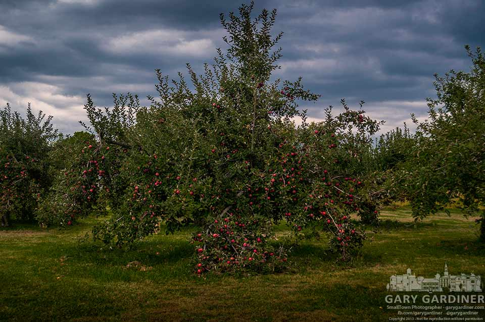 Tree filled with apples yet to be picked at Doran's Farm. My Final Photo for Sept. 29, 2013.
