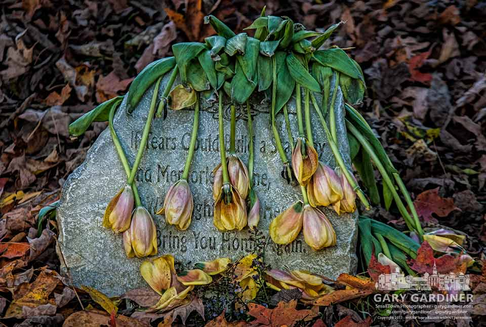 Wilting tulips hang like tears across a small headstone at Otterbein Cemetery. My Final Photo for Oct. 18, 2013.