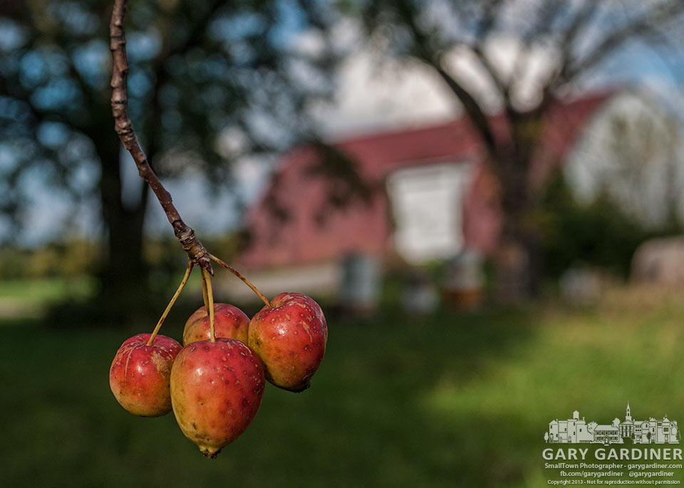 Crabapples hang from a tree at the Cooper Road farm. My Final Photo for Sept. 30, 2013.