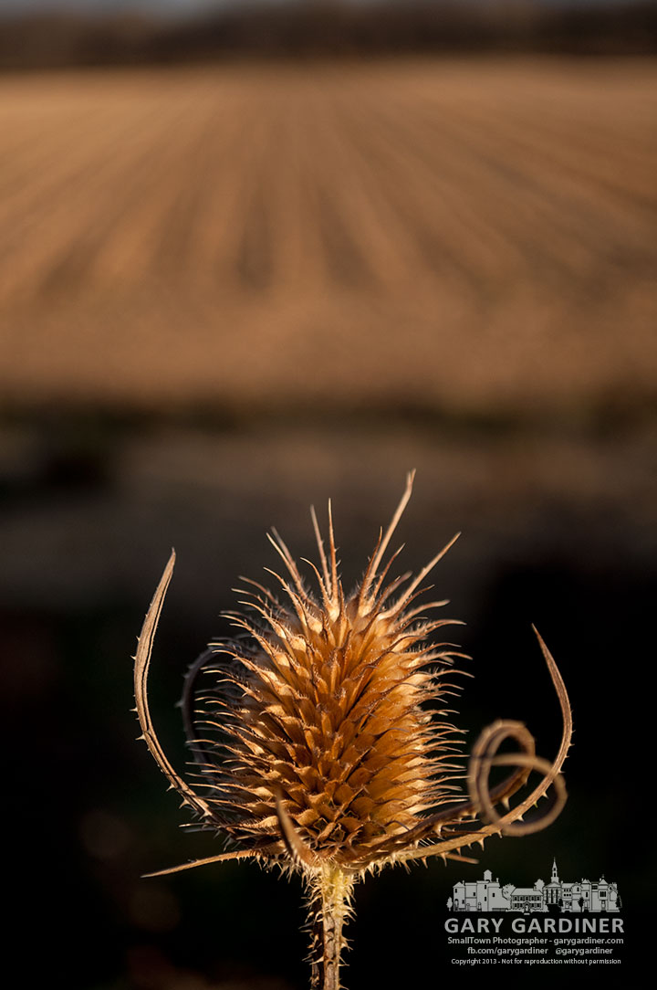 Thistles, briars, and brown stubble are all that remain after the corn harvest at the farm on Cooper Road. My Final Photo for Nov. 18, 2013.