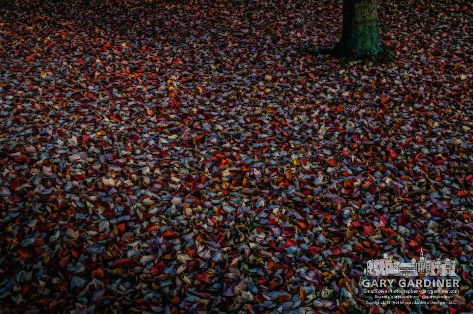 Red maple leaves carpet the ground beneath their tree on a cool, still fall day. My Final Photo for Nov. 7, 2013.
