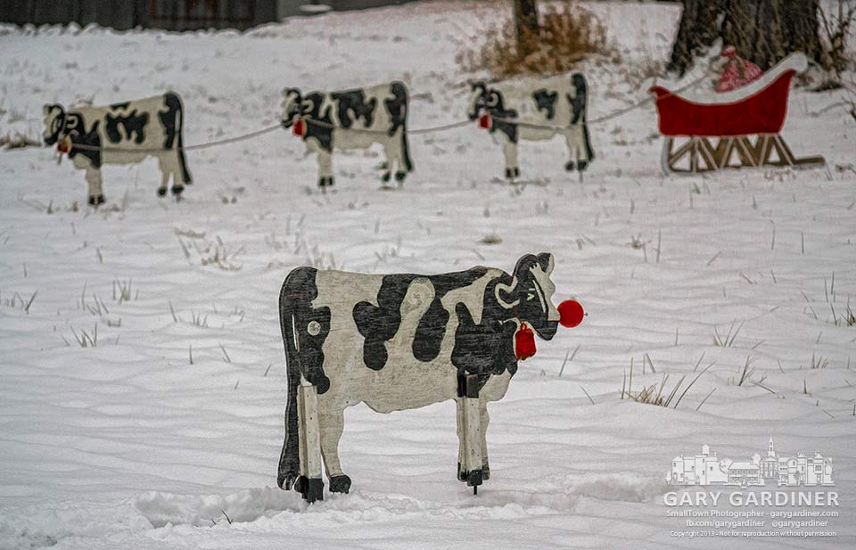 A herd of plywood Holstein cows stand in for Santa's reindeer in the front yard of a home on Tussic with one adorned as Rudolph. My Final Photo for Dec. 16, 2013.