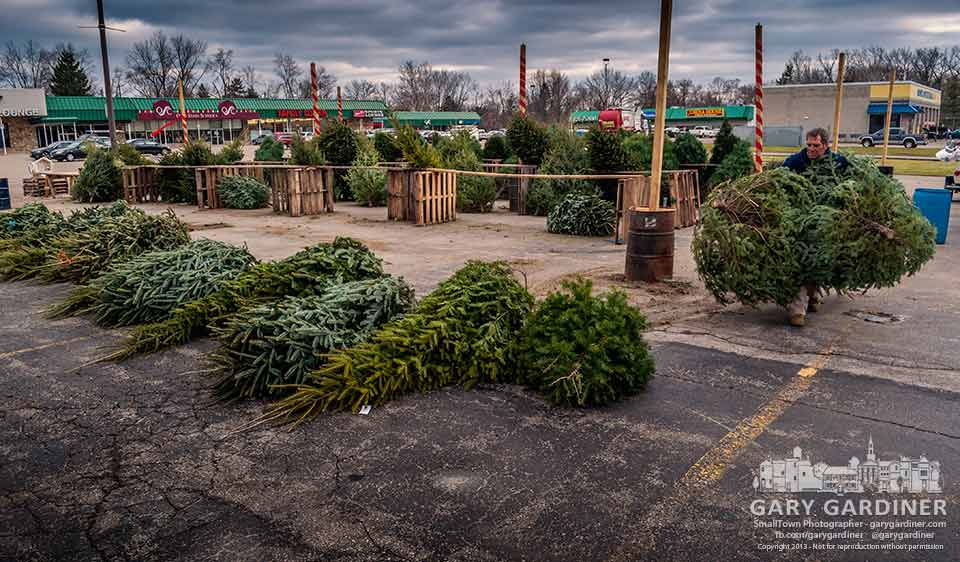 Greg Shilling lines up the remaining trees for inventory as begins to close down the Christmas tree sales lot at the end of the sales season. My Final Photo for Dec. 23, 2013.