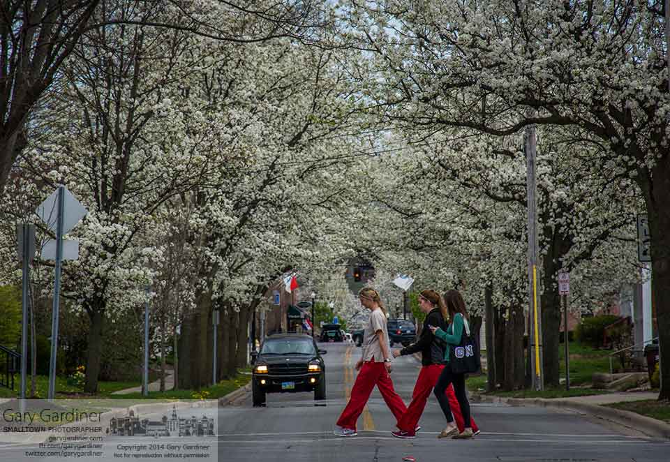 Otterbein student walk across Main Street beneath a canopy of flowering trees. My Final Photo for April 24, 2014.