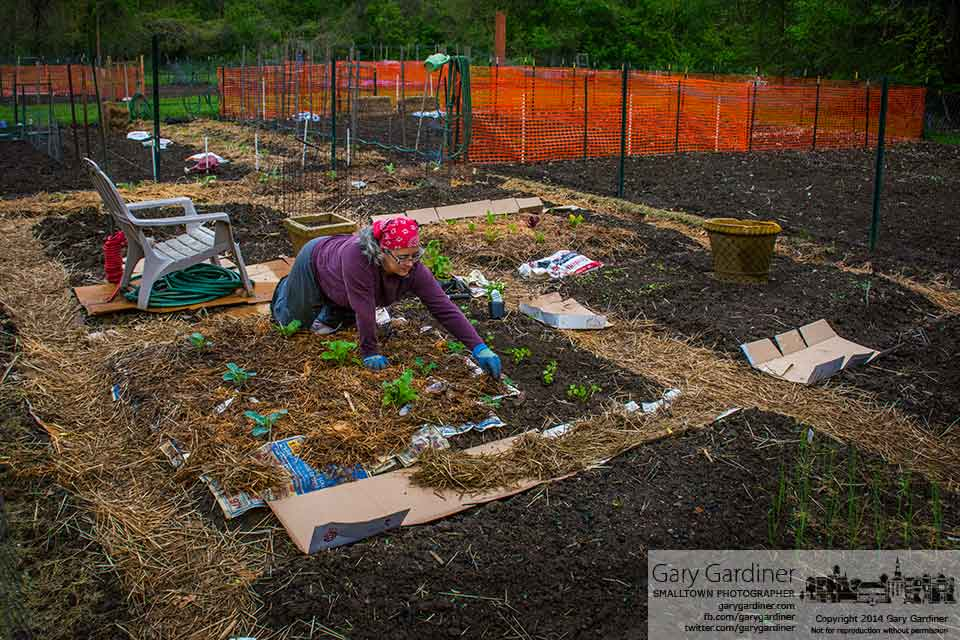"""Garden Gretch"" tends her section of the Westerville community garden placing ground cover and mulch on spring vegetables. My Final Photo for May 10, 2014."