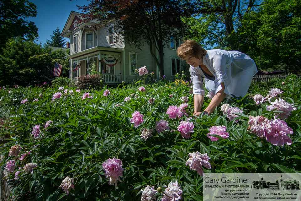 A woman gathers peonies from the garden in her front yard along Park Street. My Final Photo for May 30, 2014.