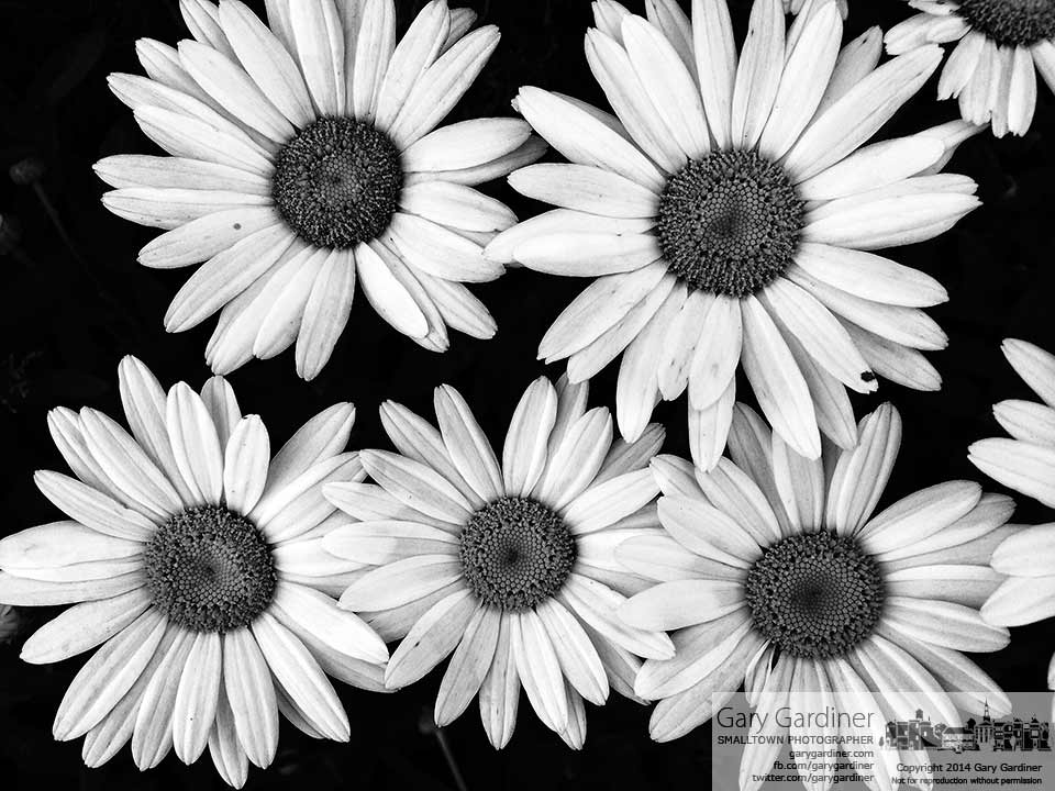 Blooming daises in black and whiter are my Final Photo for June 29, 2014.