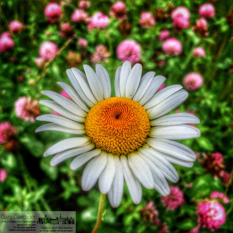 A wild daisy and red clover decorate a field at the Braun Farm in this iPhone photo. My Final Photo for June 9, 2014.