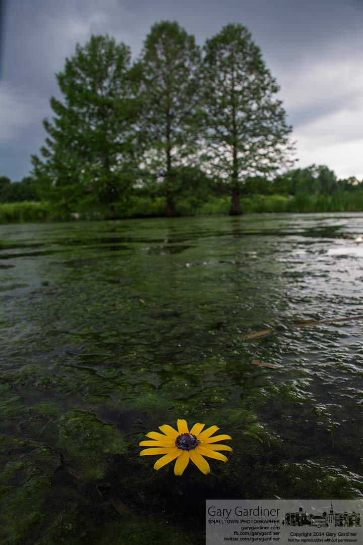 A Black-eyed Susan flower floats on the water of the wetlands at Highlands Park in Westerville. My Final Photo for June 24, 2014.