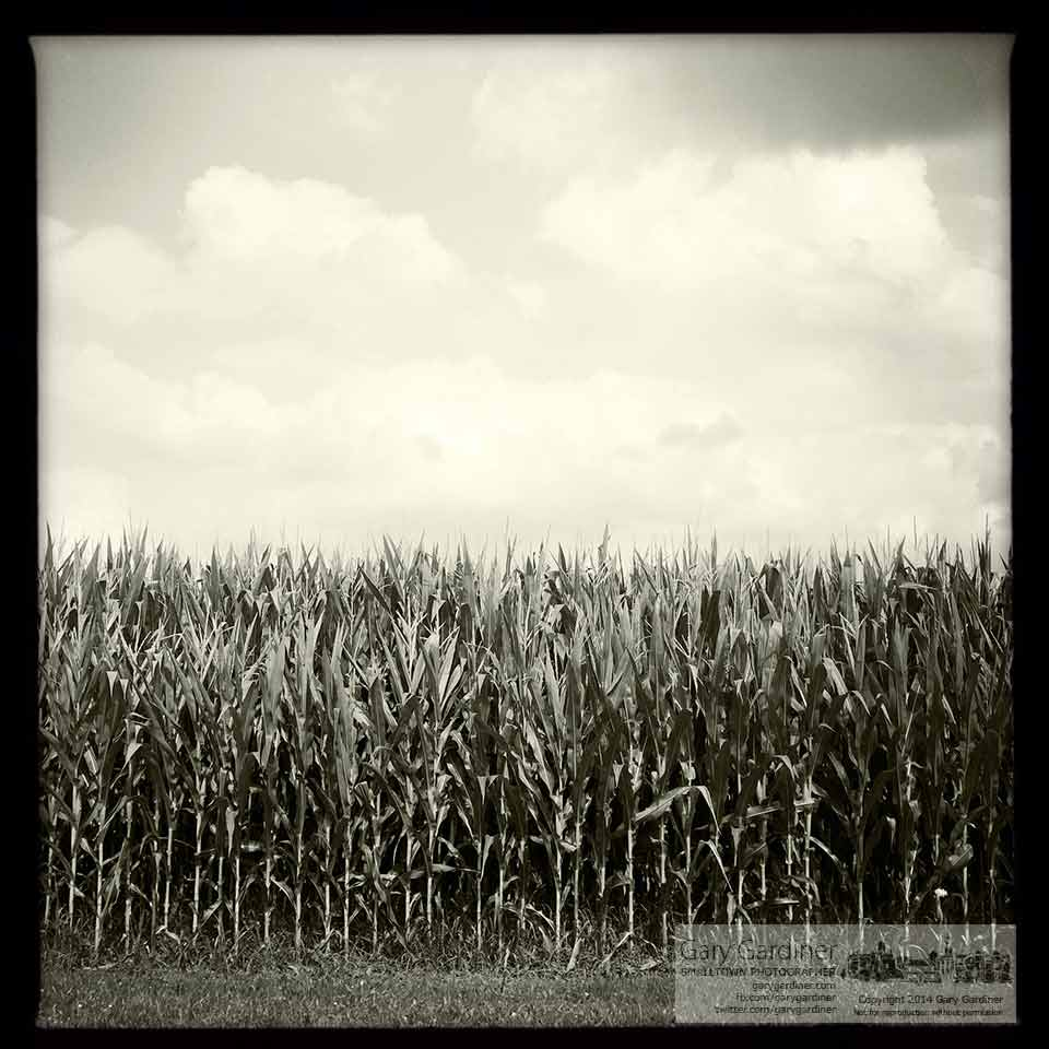 Corn begins to tassel in a field on the Yarnell farm along Cleveland Avenue. My Final Photo for July 21, 2014.