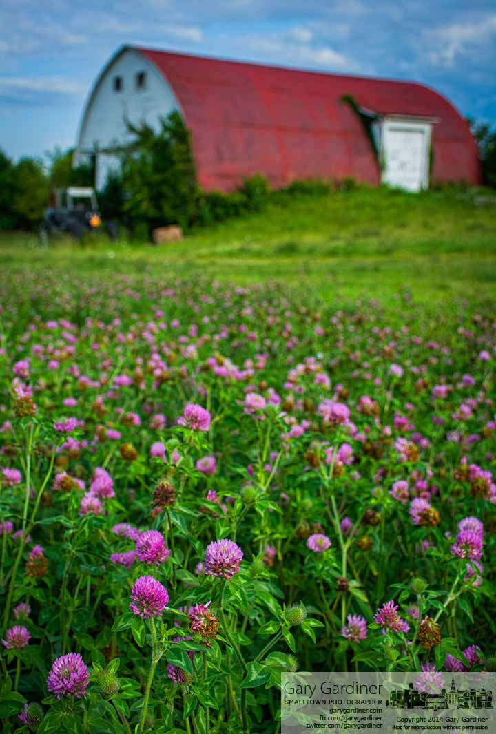 Clover blooms in one of the hay fields near  the Braun Farm barn at Cooper Rd. and Cleveland Ave. My Final Photo for July 28, 2014.