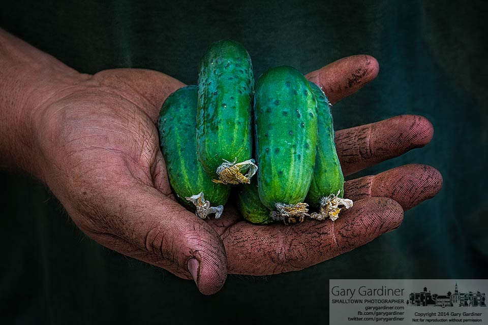 A farmer holds five small pickling cucumbers at the Uptown Westerville Farmers Market. My Final Photo for July 23, 2014.
