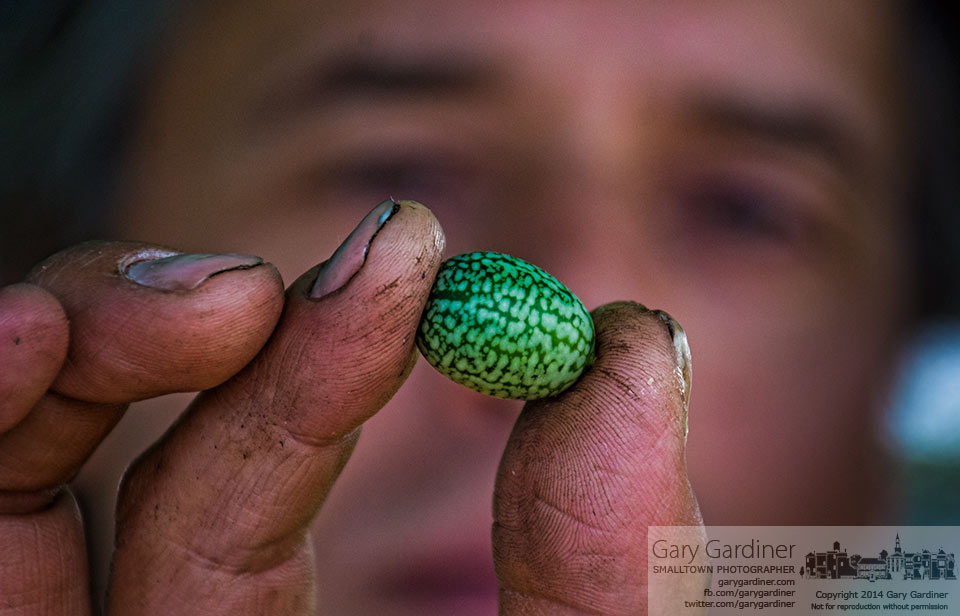 A farmer holds a 3/4-inch Mexican mouse melon he offers for sale at the Blendon Township Farmers Market. My Final Photo for July 17, 2014.