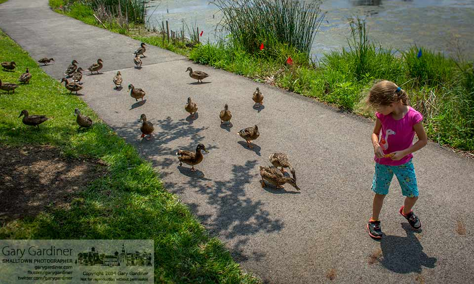 Abigail is trailed by a flock of hungry young ducks along the path at the Highlands Wetlands. My Final Photo for July 21, 2014.