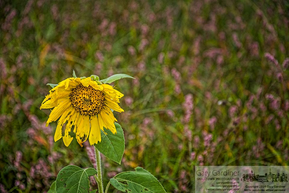 A single volunteer sunflower grows in an unattended patch of ground in the community garden at Blendon Township. My Final Photo for August 31, 2014.