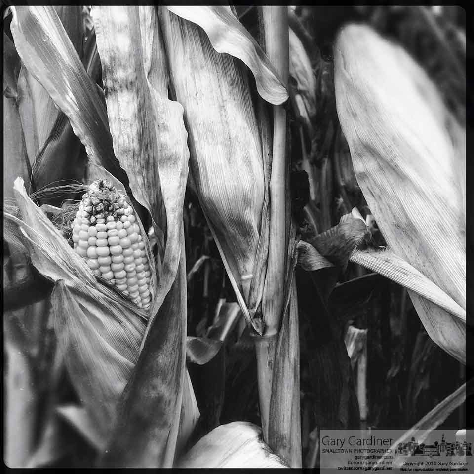 Corn planted for feed begins to dry on the stalk at the Yarnell farm. My Final Photo for Sept. 1, 2014.