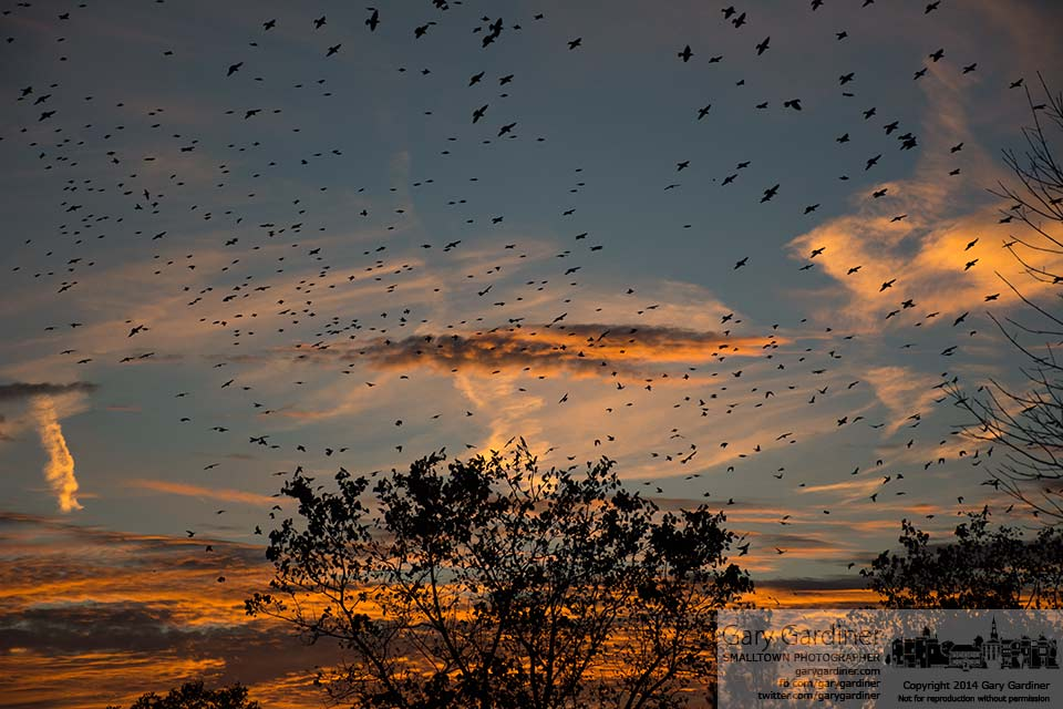 Flocks of starlings gather in a murmuration over the cloverleaf turn onto I-270 from Westerville Road in an annual gathering  during their migration. My final Photo for Sept. 27, 2014.