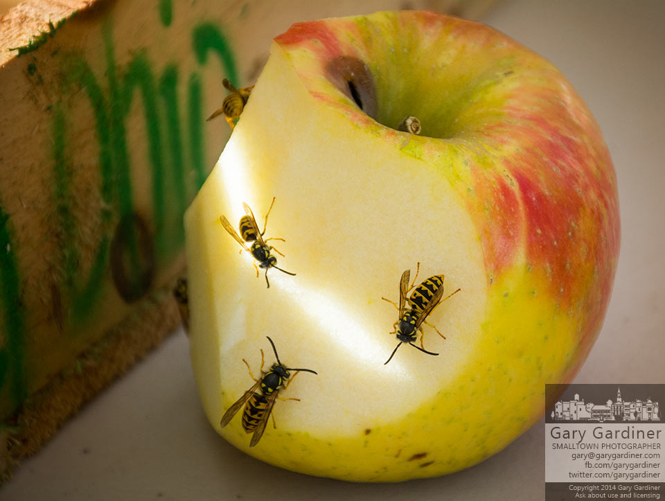 Yellow jacket wasps feast on sliced apples from Branstools Orchards at the Uptown Westerville Farmers Market. My Final Photo for Oct. 1, 2014.