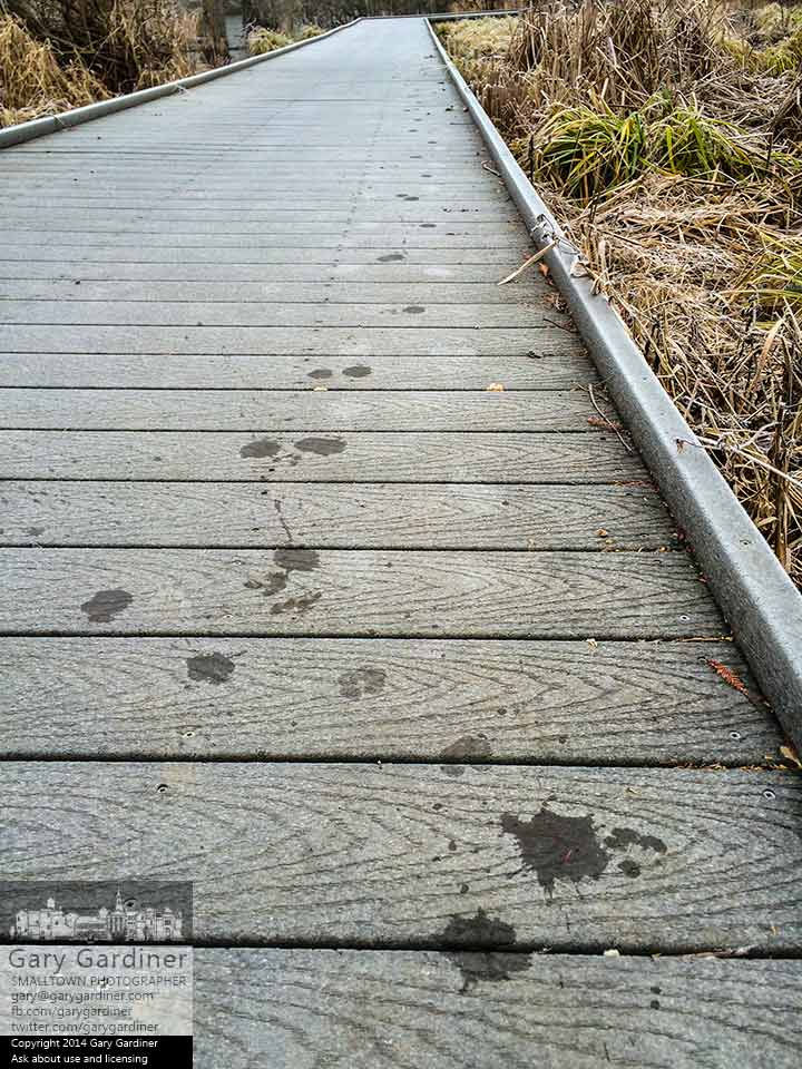 The wet tracks of a small animal mark its path from where it left the icy water at the wetlands and traveled along the elevated walkway at Boyer Nature Preserve. My Final Photo for Dec. 4, 2014.