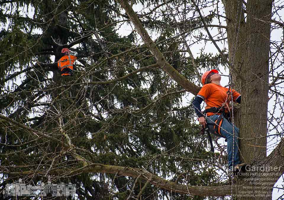 Tree trimmers prune the ginkgo biloba and Norway spruce trees on the land across from the library where Northstar plans to build a restaurant this year. My Final Photo for Jan. 20, 2015.