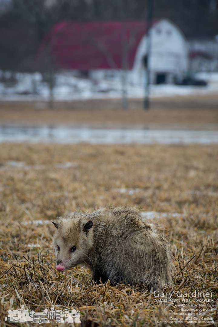 A possum searches for food on flooded farm land at the Braun Farm. My Final Photo for March 9, 2015.