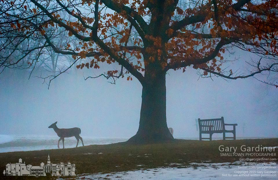 A small pack of deer graze near the rose garden in Inniswood Gardens as fog from the melting snow obscures the horizon. My Final Photo for March 10, 2015.