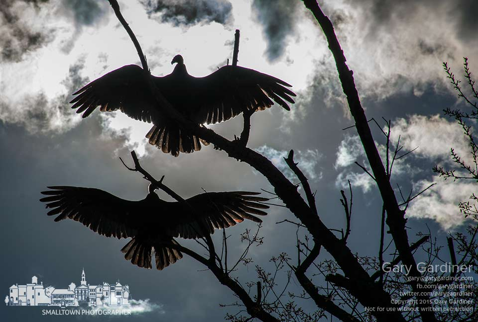 A pair pf buzzards spread their wings in the horaltic pose in early morning light to warm themselves for a day of scavenging and food hunting. My Final Photo for May 2, 2015.