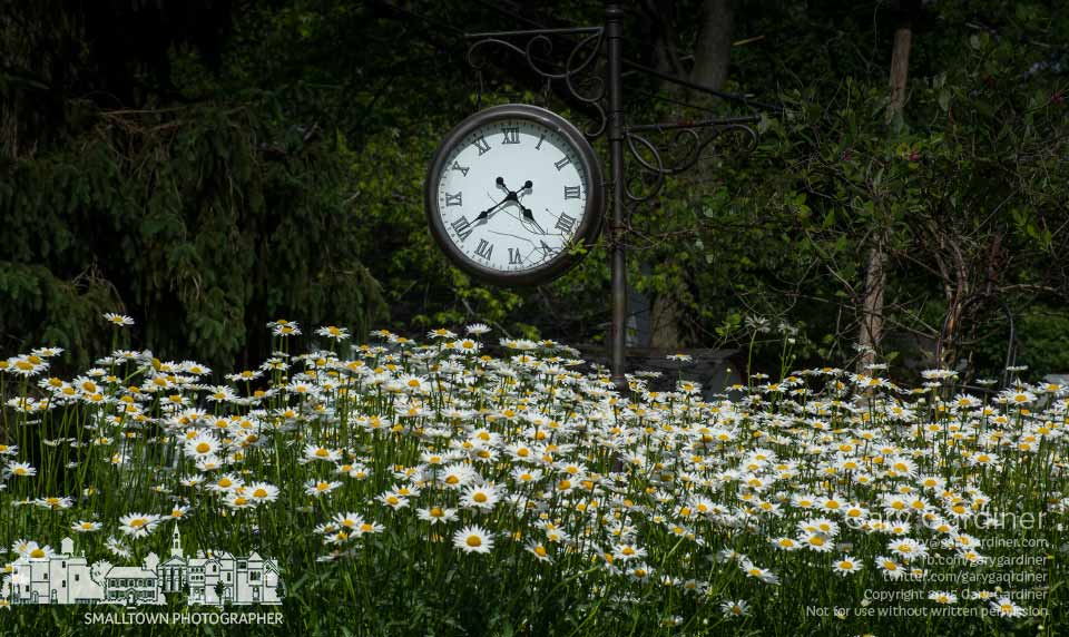 A garden of spring daisies blossom beneath a large clock in an alley near Uptown Westerville. My Final Photo for May 24, 2015.