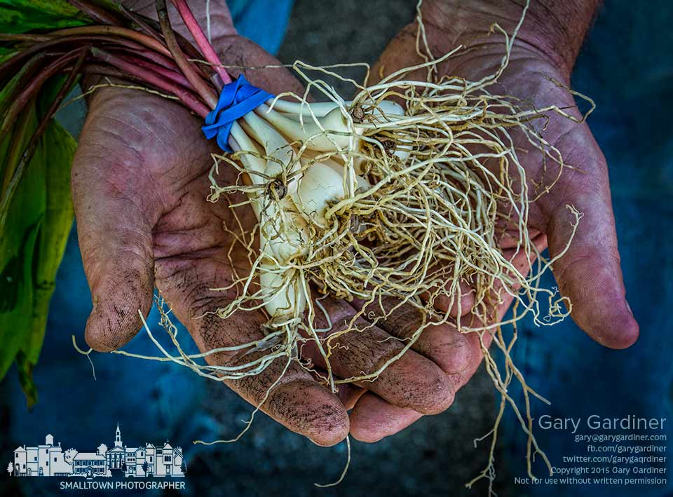 A farmer holds a bundle of spring onions in his booth at the Uptown Westerville Farmers Market on it second week of the 2015 season. My Final Photo for May 13, 2015.