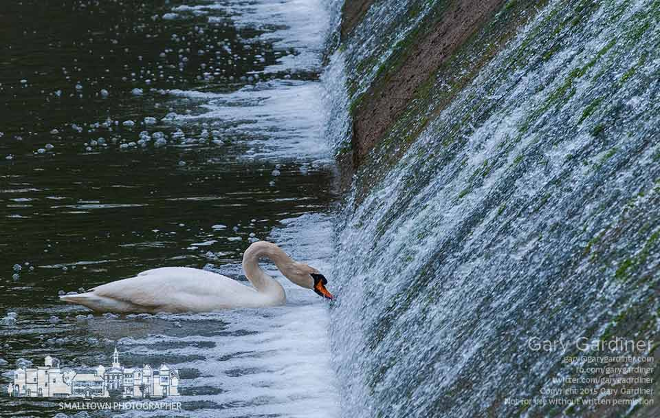 A white swan feeds below the spillway on the creek at Alum Creek Park  just below the Main Street Bridge.  My Final Photo for May 4, 2015.