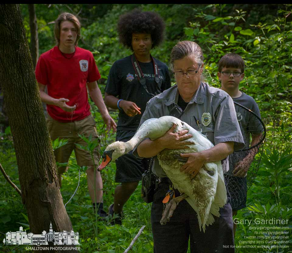 Westerville Animal Control Office Kim Stambaugh carries an injured swan from Alum Creek where it was rescued with a fishing lure stuck in its leg and trapped in debris by the lure's fishing line. Behind her are the the boys who found the swan and called police. My Final Photo for May 22, 2015.