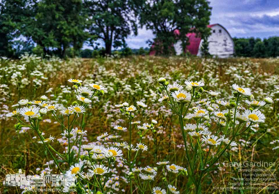 An abundance of wildflowers grow in the uncut hay fields at the Braun Farm as continuing rain keeps farmers from cutting the vital crop. My Final Photo for June 29, 2015.