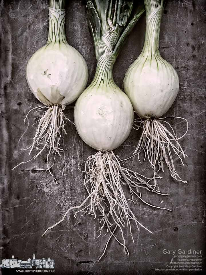 Three onions fresh from the field sit on a display table at the Uptown Westerville Farmers Market. My Final Photo for July 1, 2015.