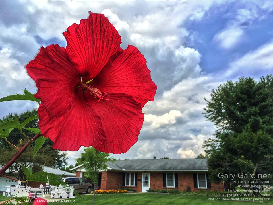 A red luna hibiscus blossom, nearly one foot in diameter hangs over the curb at the intersection of Huber Village and Spring where a white version sits on an adjacent corner. My final Photo for July 28, 2015.