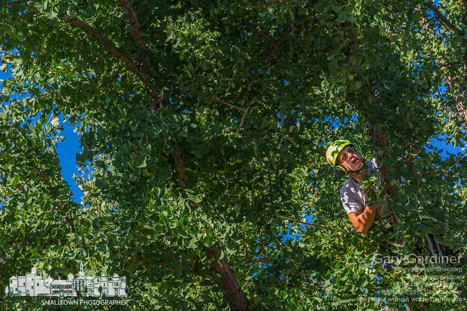 A city tree trimmer checks his progress pruning the ginkgo biloba at city hall as contractors prepare part of the front lawn for renovation as a green space. My Final Photo for July 30, 2015.