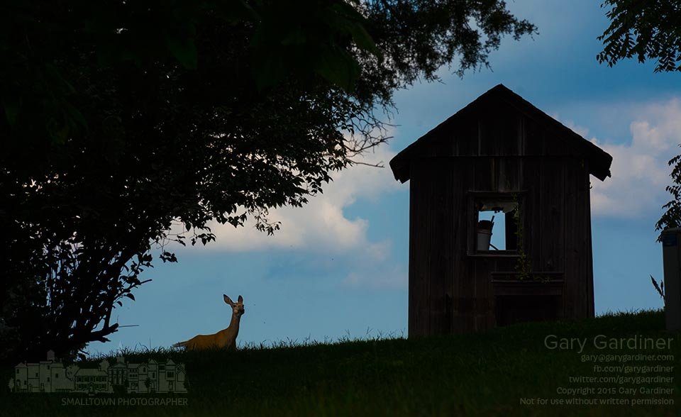 A doe peers over a small ridge wondering about the photographer staring back on the roadway beside the Sharp family home on Africa Rd. My Final Photo for Aug. 16, 2015.