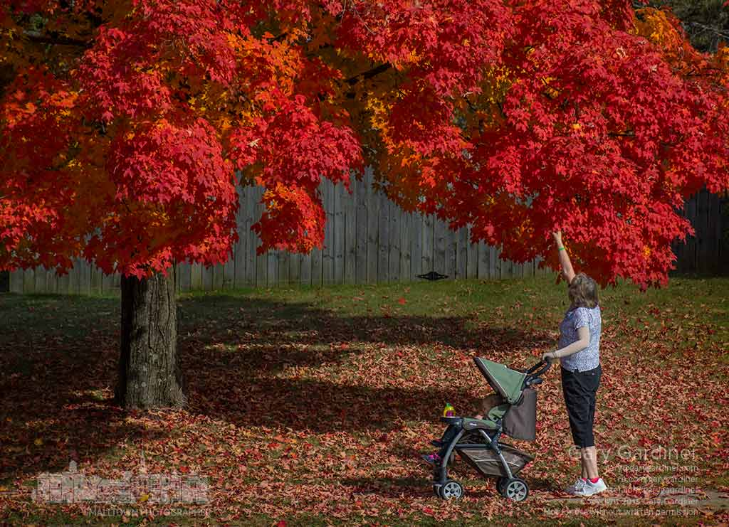 A woman stops long enough to select a red maple leaf to share with the youngster in the stroller while on their walk along Spring and Highlands Park. My Final Photo for Oct. 23, 2015.