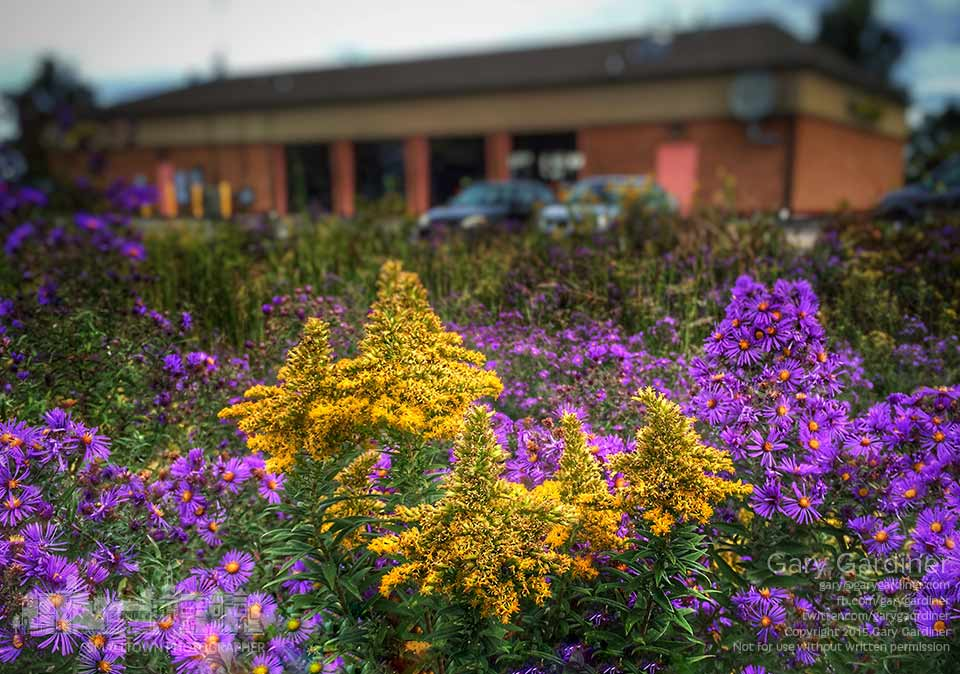 Goldenrod and purple New England aster flowers brighten a holding pond perimeter behind the Kroger store on North State Street. My Final Photo for Oct. 2, 2015.