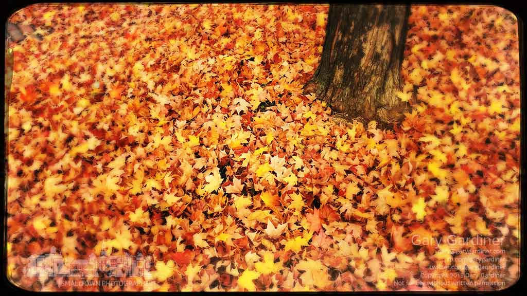 A carpet of golden maple leaves carpet the ground beneath a tree on Winter Street in Uptown Westerville. My Final Photo for Nov. 5, 2015.