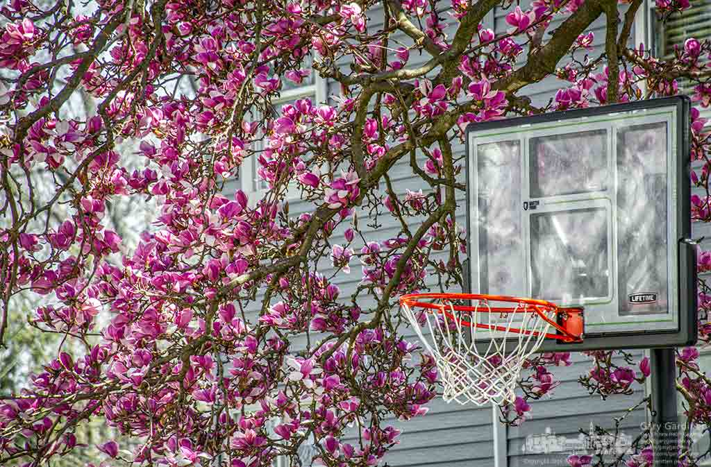 Blossoms from a magnolia tree envelop a basketball hoop and backboard on a house on Park Street adding early  spring color to the neighborhood. My Final Photo for March 26, 2016.