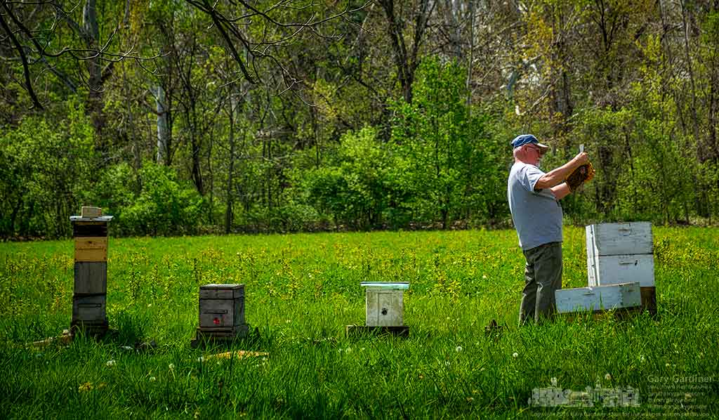 Beekeeper Mel Sword inspects the largest of his four hives on the Braun Farm property on Cleveland Ave. My Final Photo for April 25, 2016.