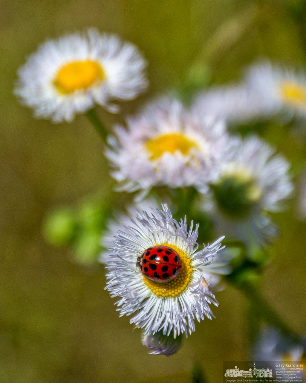A ladybug lands on a Philadelphia fleabane flower growing in the too wet to plow fields at the Braun Farm. My Final Photo for May 16, 2016.