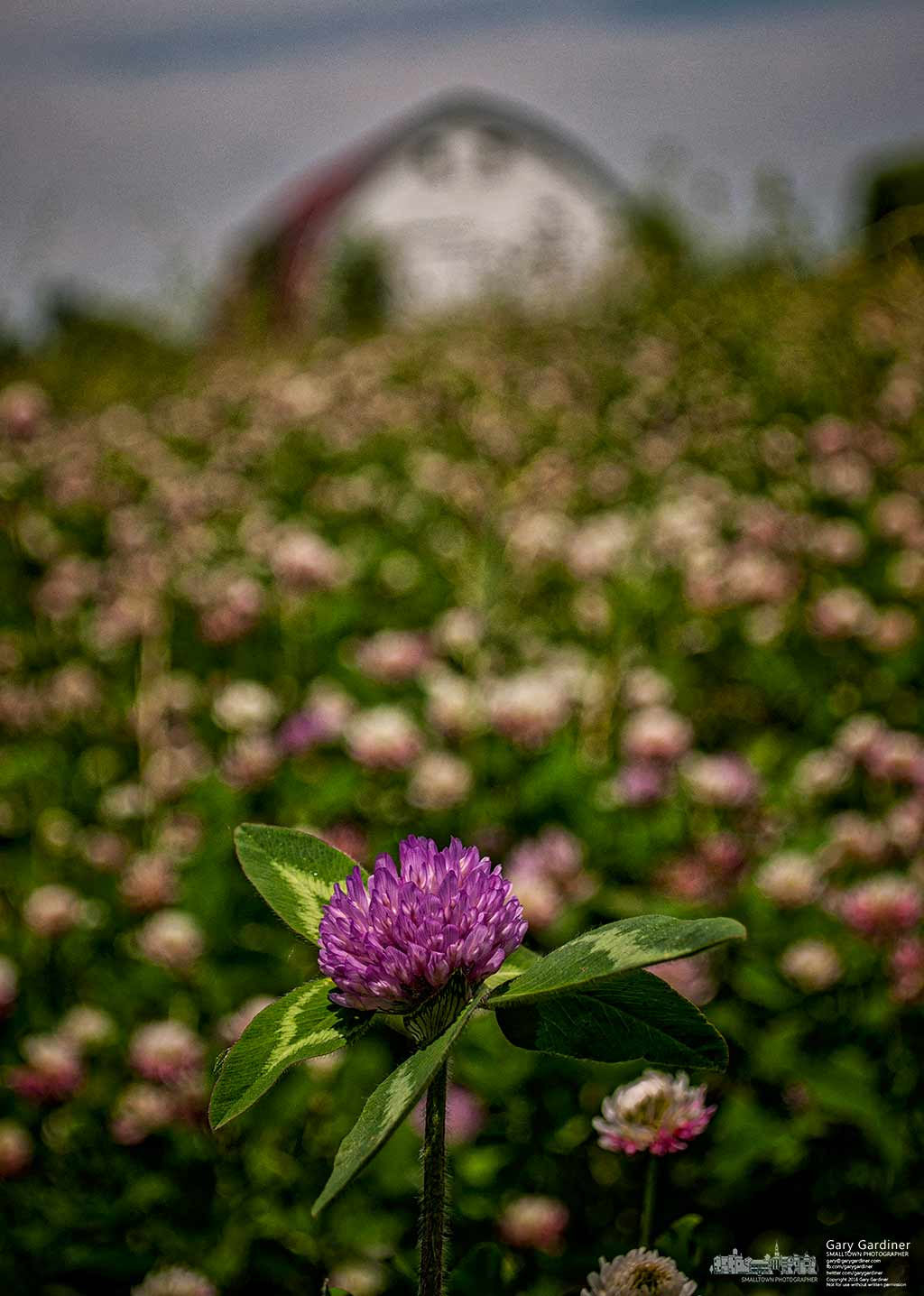 A single fresh clover blossom brightens a hay field at the Braun Farm. My Final Photo for May 31. 2016.