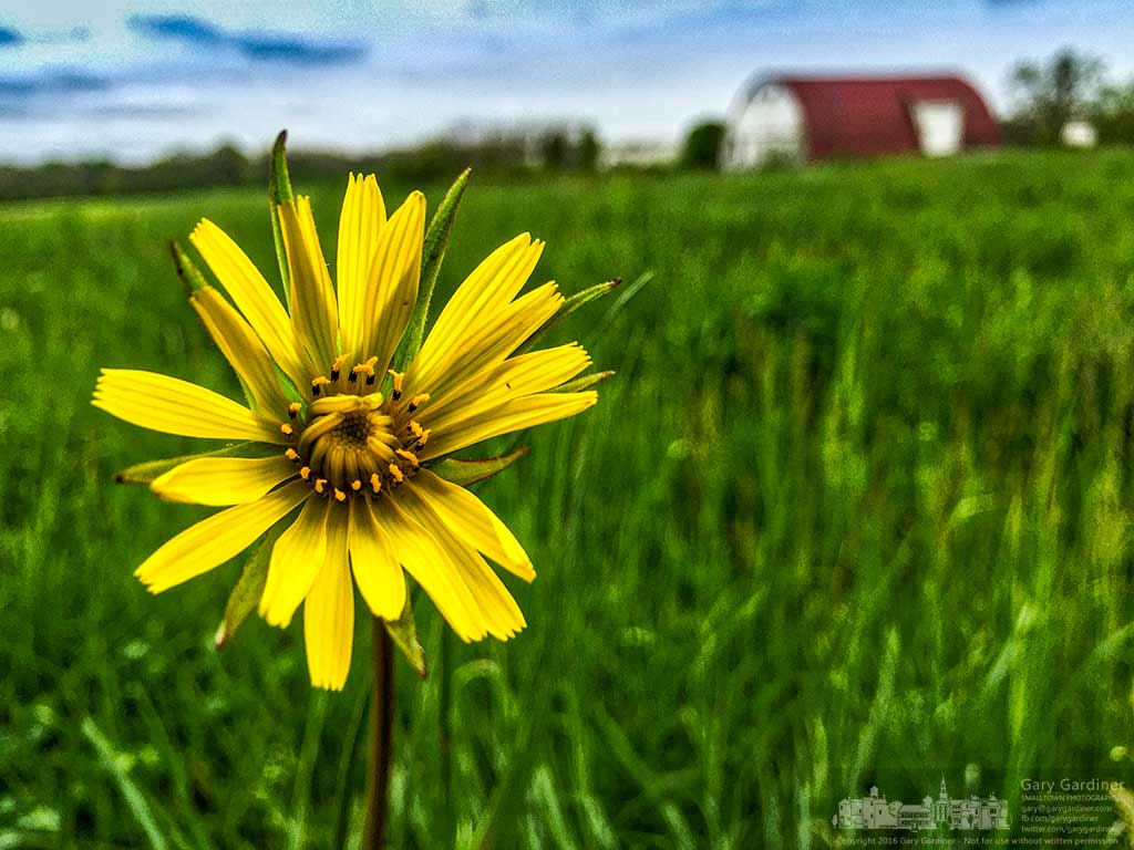 The first spring flowers have begun to show in the fields at the Braun farm after recent rains and warmer weather spurred their appearance. My Final Photo for May 2, 2016.