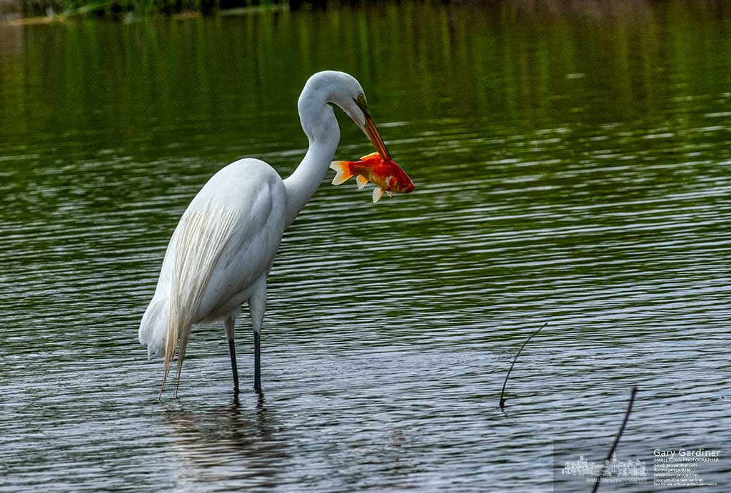A Great Heron pulls a goldfish from the waters of the Highlands wetlands. My Final Photo for May 26, 2016.
