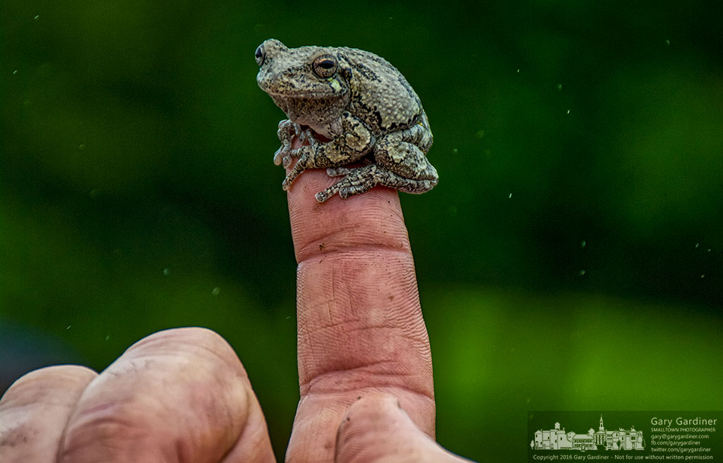 A tree frog sits on the fingertip of Mark Dilley as he explains how the wetlands at Highlands Park has changed in the last several years as it was modified for better drainage and water purification. My Final Photo for May 21, 2016.